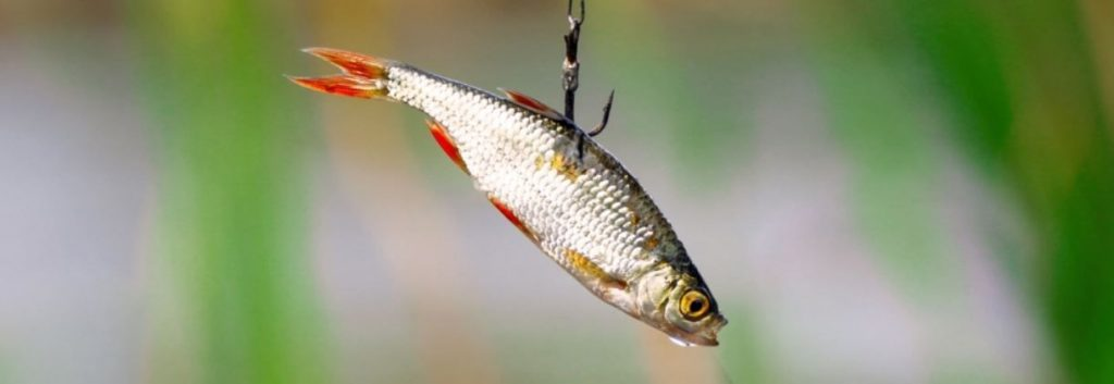 image of how to make a live fishing bait