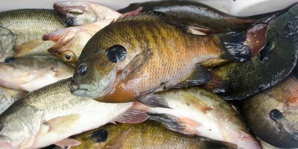 Bluegill fish stock