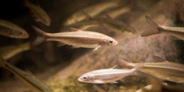 Image of Minnow fish