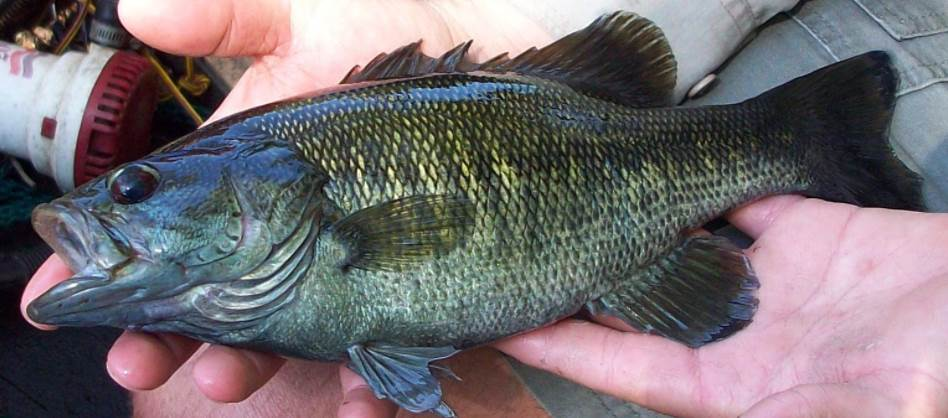 Image of The Black Bass