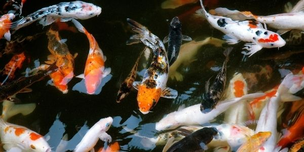 Image of different types of koi fish