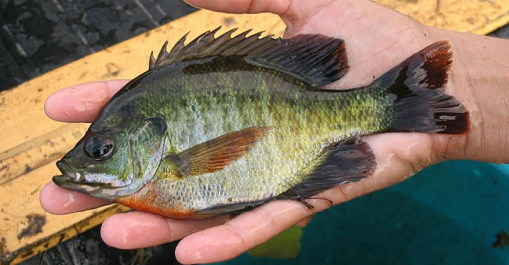 Image of the Bluegill fish