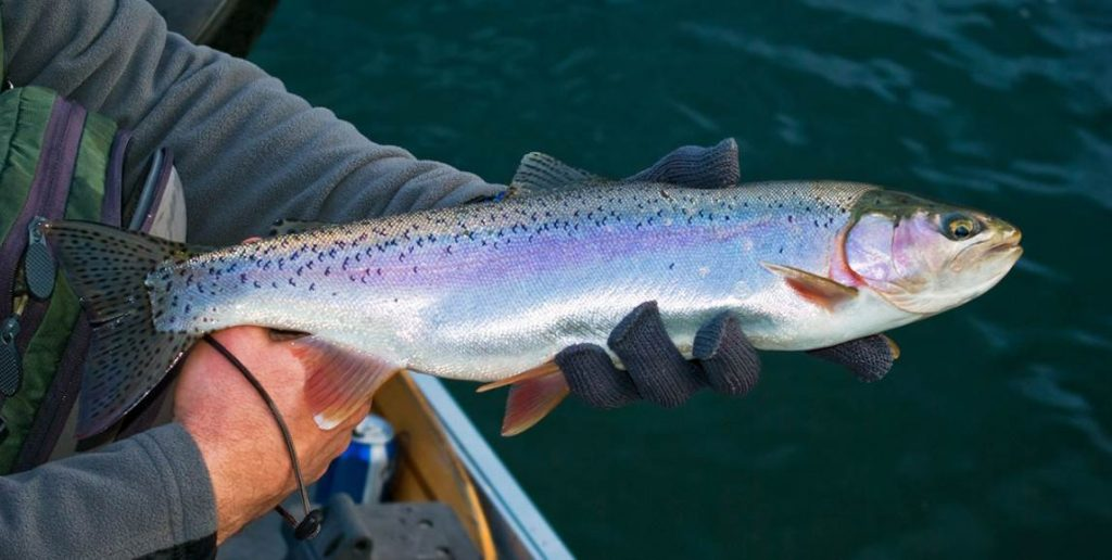 Image of the sea trout fish
