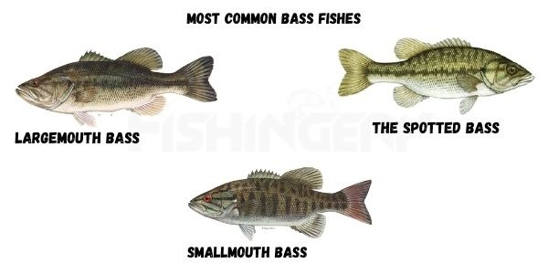 Most Common Bass Fishes