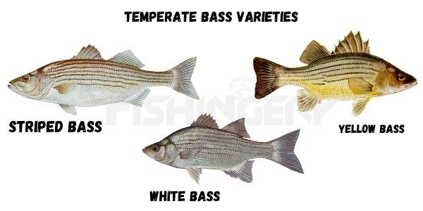 Temperate Varieties of Bass Fish