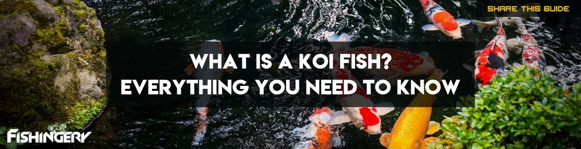 What is a Koi Fish