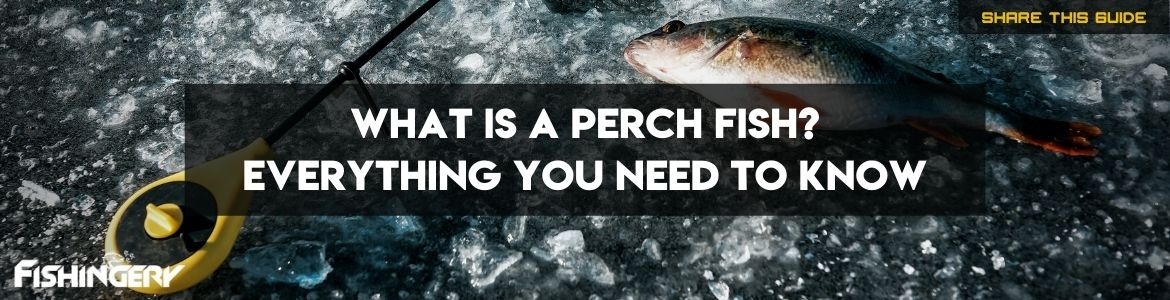 What is a Perch Fish