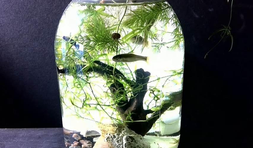 Wild minnow fish inside a jar