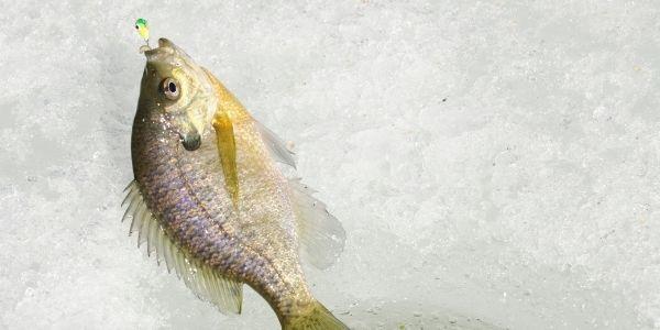 bluegill fish on the ice