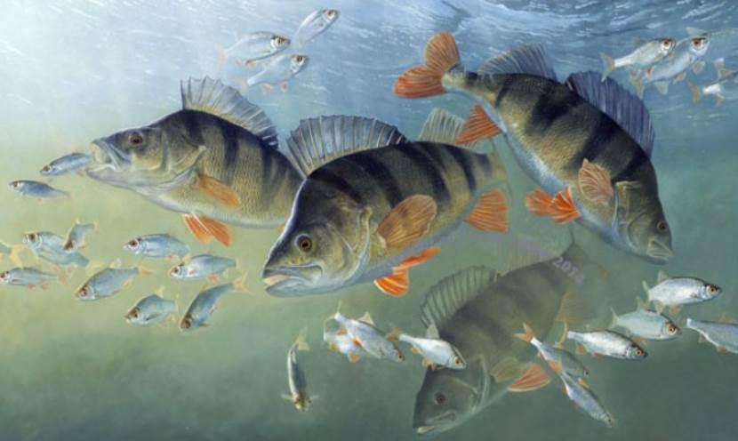 drawn image of perch fish