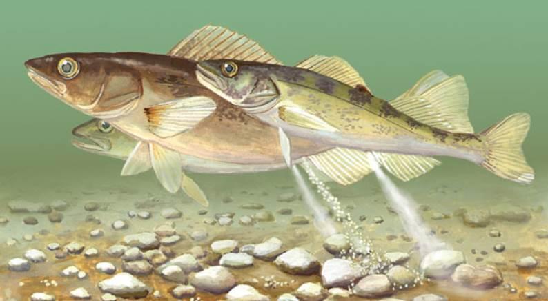 drawn image walleye fish