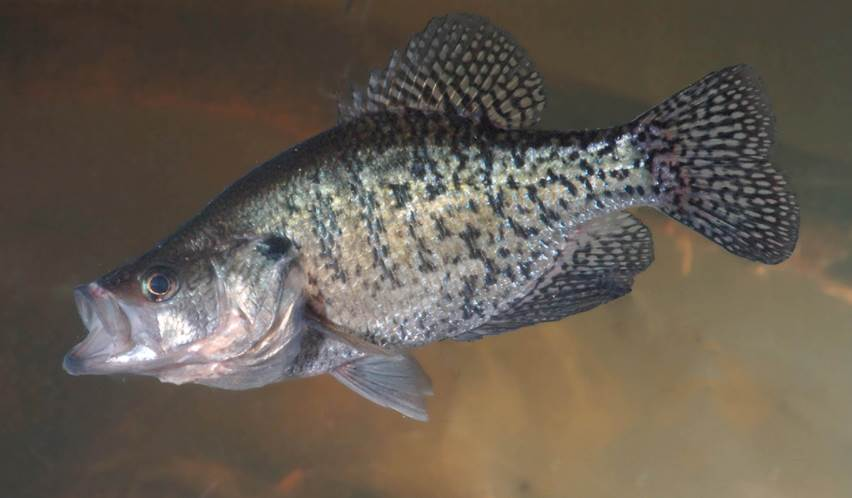 image crappie fish inside the water