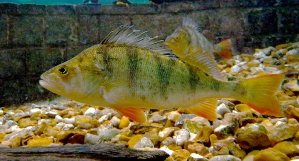 image of European perch