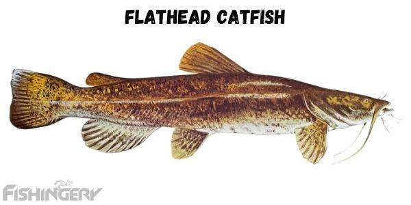 image of Flathead Catfish