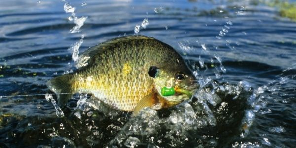 image of a bluegill fish splashing out of water