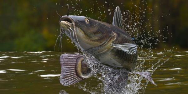 image of a catfish