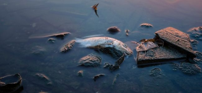 image of a dead fish