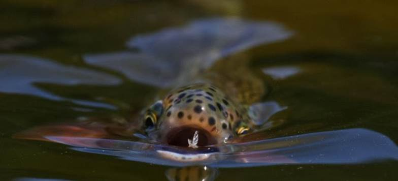 image of a fish eating fly