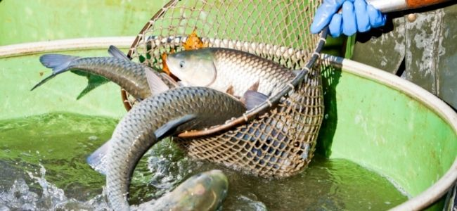 image of a person catching fish with net