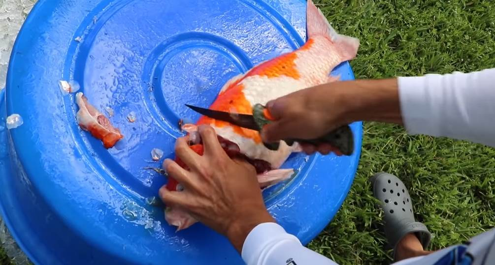 image of a person cutting the Koi fish