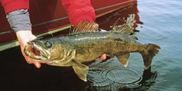 image of a person holding the walleye fish