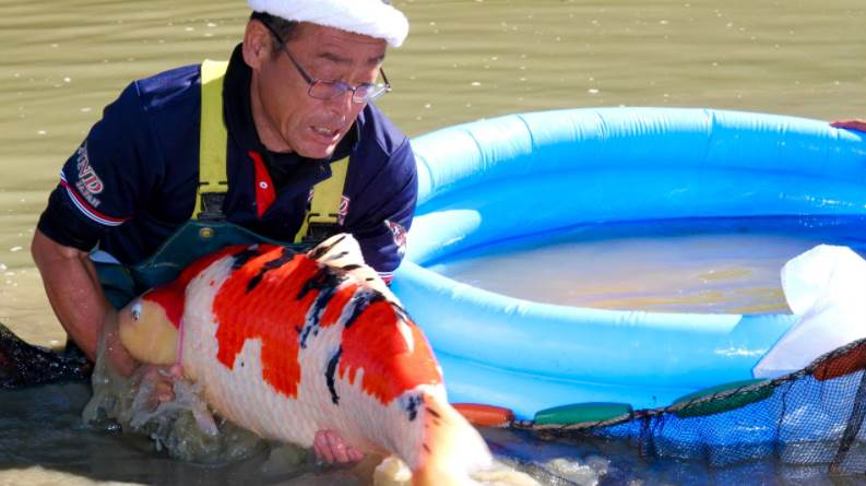 image of a person picking up the koi fish