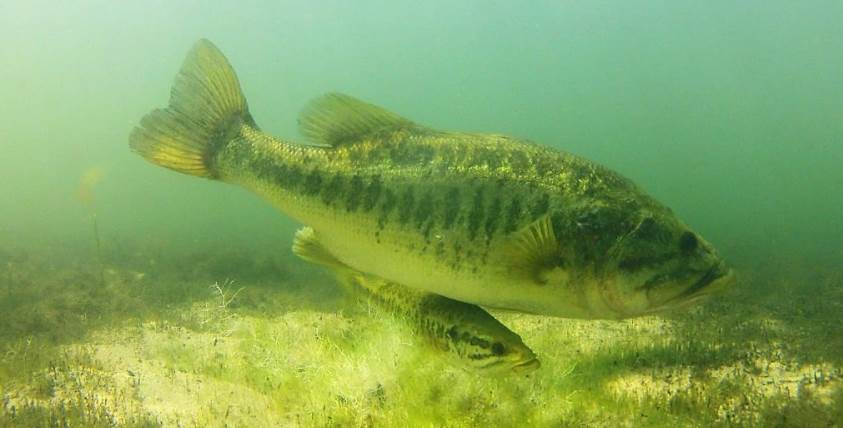 image of bass fish under the water