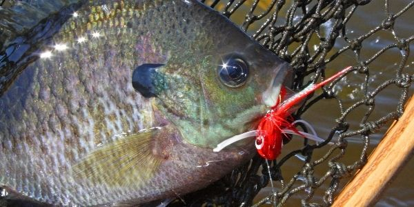 image of bluegill fish with a bait in mouth