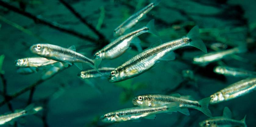image of minnow fishes in water