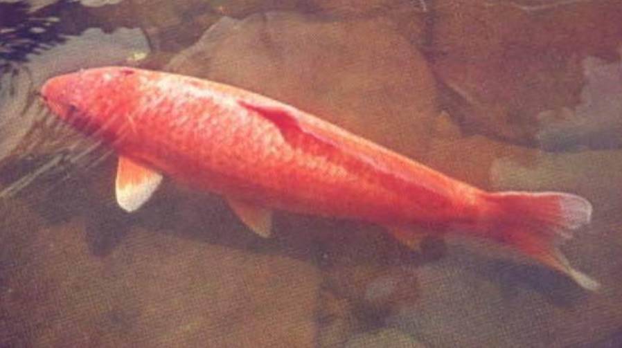 image of oldest koi fish