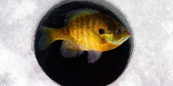 image of the bluegill fish in a ice hole