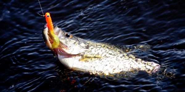image of the crappie fish caught with the hook