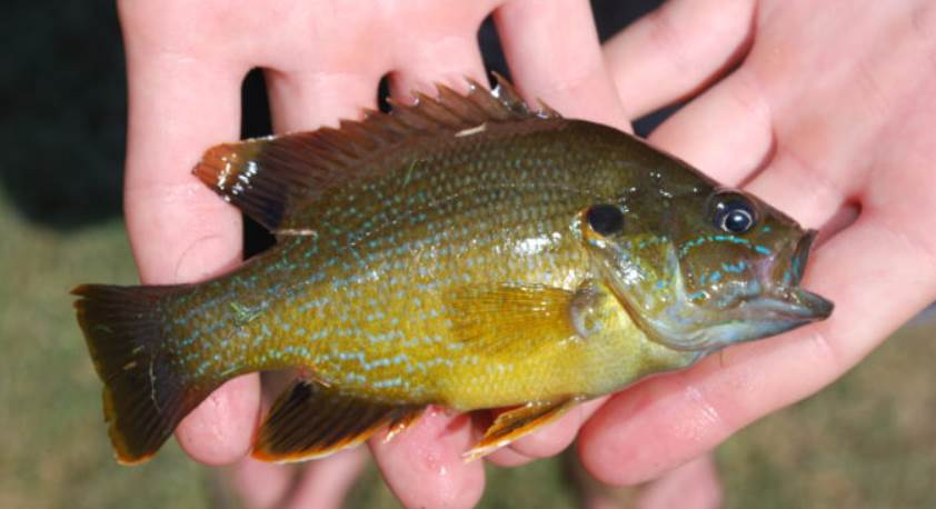 image of the green sunfish