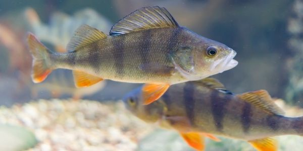 image of two perch fish