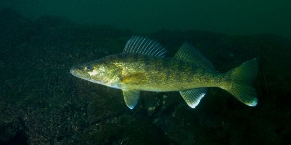 image of walleye fish inside the water