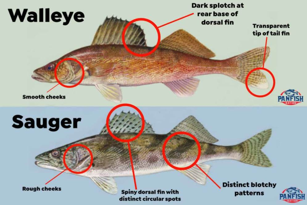 showing the difference between the walleye and sauger fish
